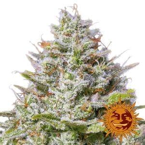 blue gelato 41 marijuana strain by barneys farm