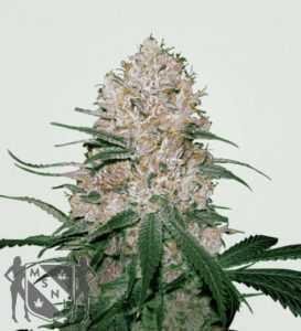 blue-og-marijuana-strain