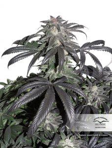 Bubba Island Kush marijuana seeds