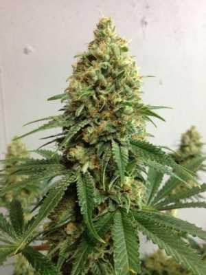 Bubbleberry Marijuana