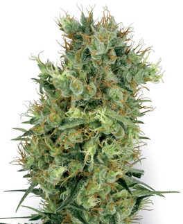 Cali Orange Bud Plant
