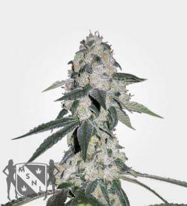 cbd queen marijuana strain