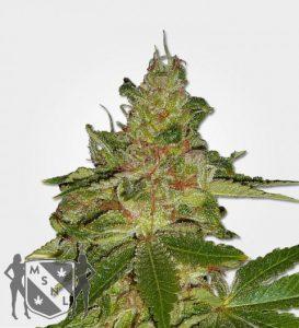 cherry kush feminized marijuana strain