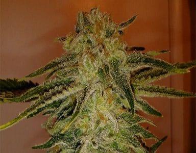 Cinex Marijuana strain
