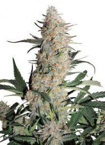 critical orange punch marijuana