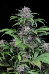 quick-kush-marijuana-strain