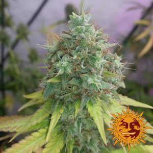 g13-haze-barneys-farm-marijuana