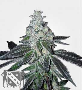 gelato-marijuana-strain-by-msnl