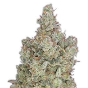 heavyweight-total-paralysis-marijuana-seeds