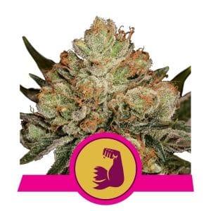 hulkberry feminized marijuana strain