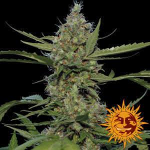 laughing-buddha-marijuana-strain