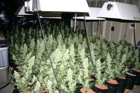 Marijuana Sea of Green (SOG)