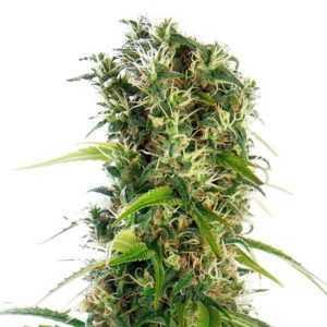 michka-sensi-seeds-marijuana-strain
