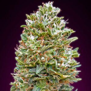 Auto Bubblegum Marijuana Strain by OO Seeds