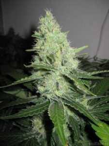 pineapple-express-g13-labs-marijuana