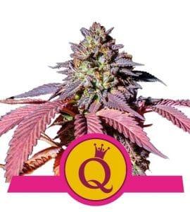 purple queen marijuana seeds royal queen