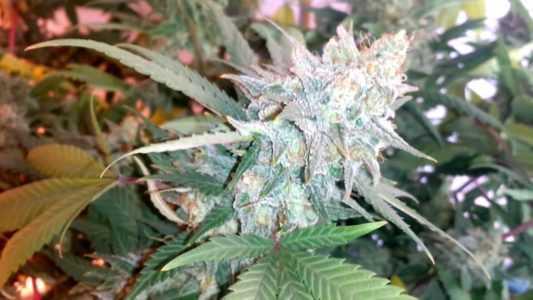 smurfberry-marijuana-strain
