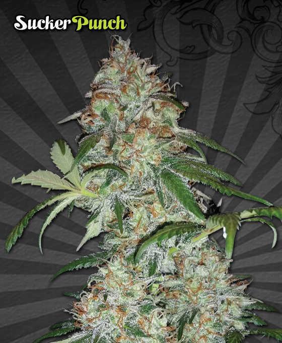 Sucker Punch Marijuana