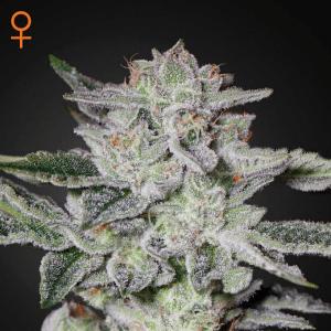 sweet valle y kush marijuana strain