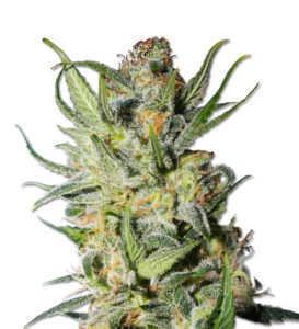 thai-stick-marijuana-seeds-by-msnl