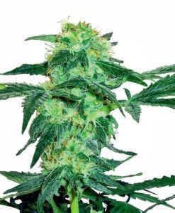 white-ice-marijuana