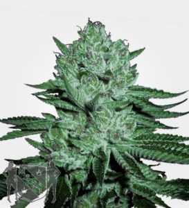 zkittlez-feminized-marijuana-seeds